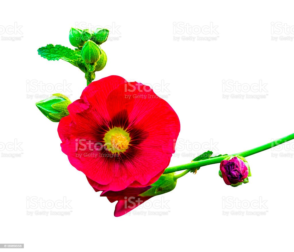mallow flowers isolated on white background. hibiscus flowers stock photo