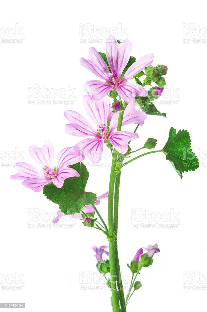 Mallow or malva flowers isolated on white stock photo