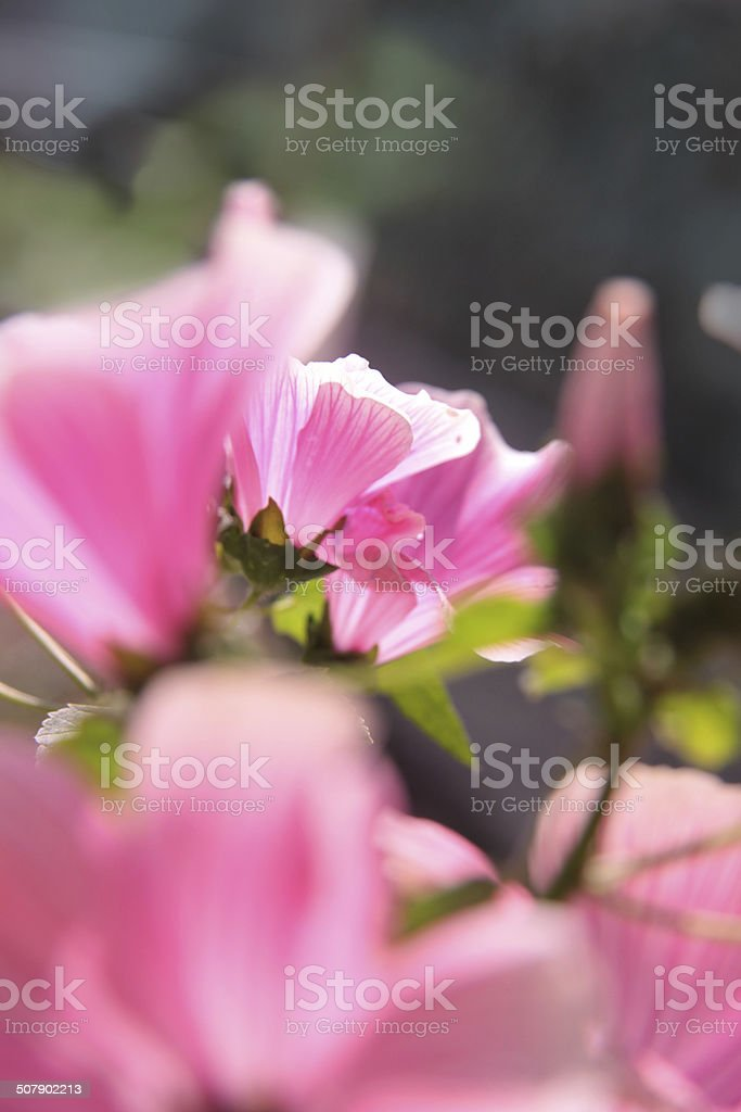 mallow royalty-free stock photo