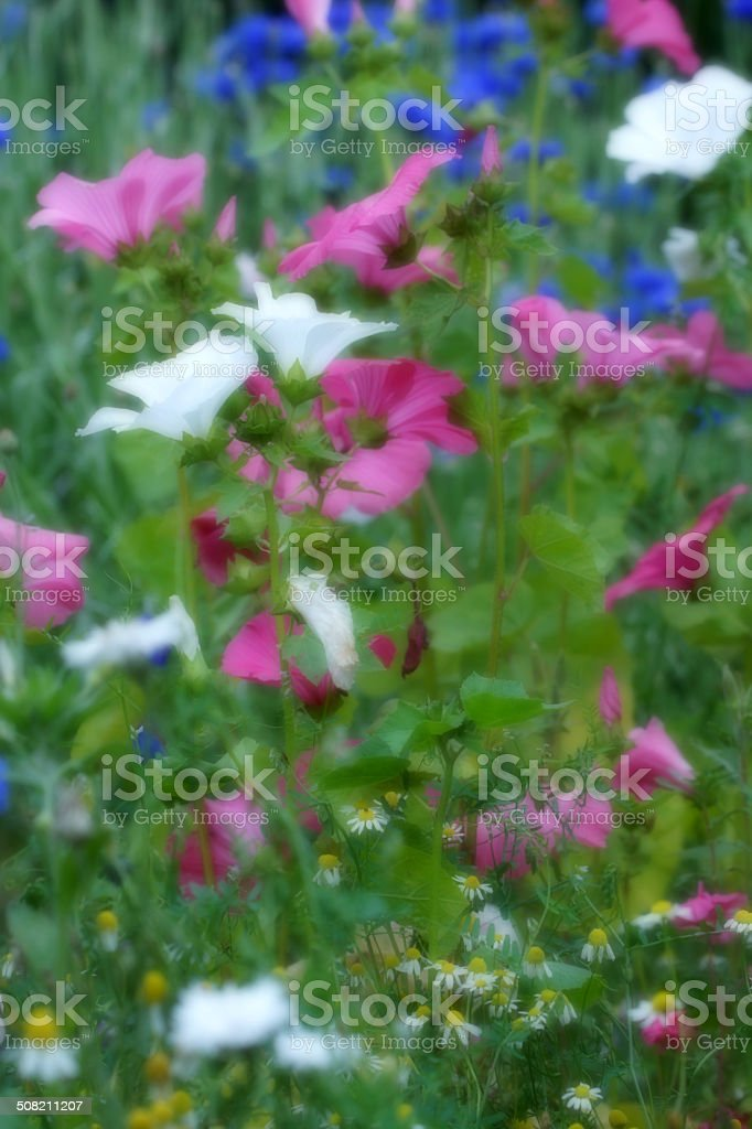 Mallows and cornflowers royalty-free stock photo