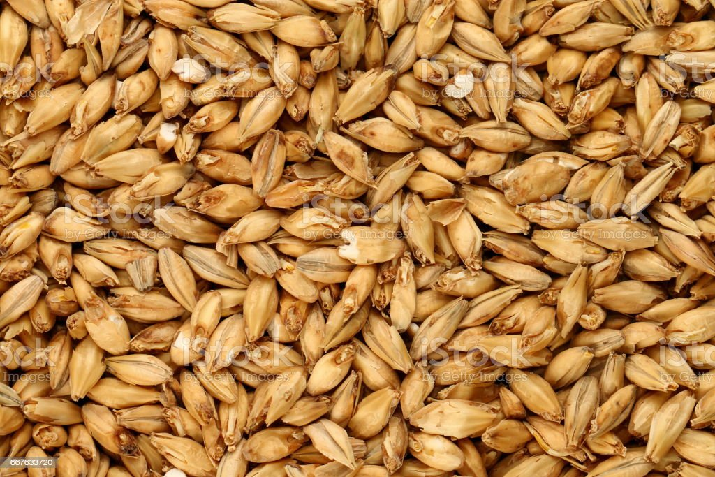 Malted Barley stock photo
