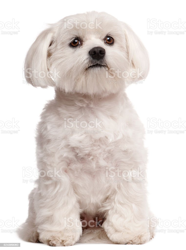 Maltese, 2 years old, sitting in front of white background stock photo
