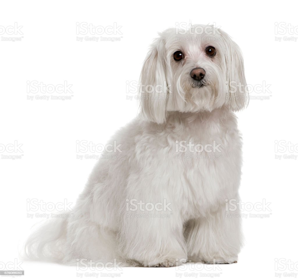 Maltese, 3 years old, in front of white background stock photo