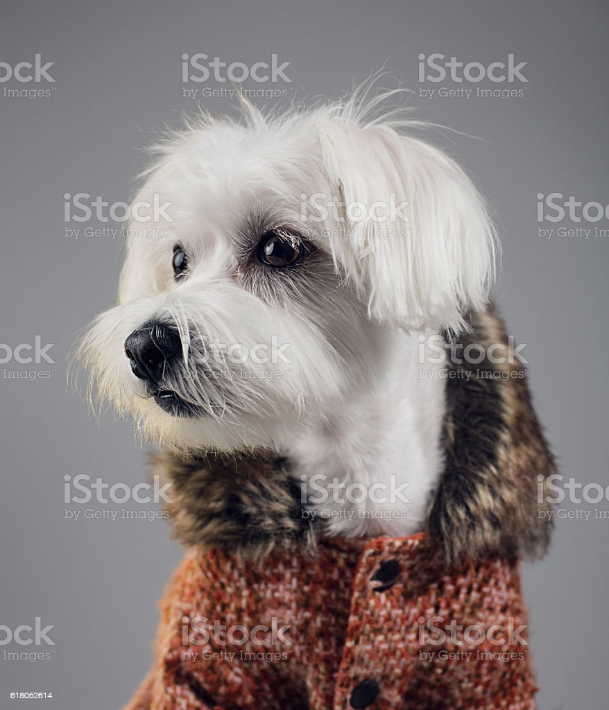 Maltese bichon dog portrait stock photo
