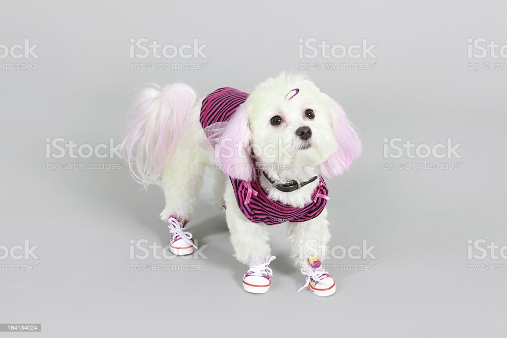 Maltese dog dyed Pink for halloween stock photo