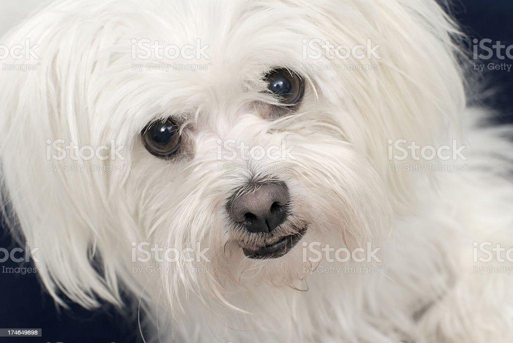 Maltese Dog royalty-free stock photo