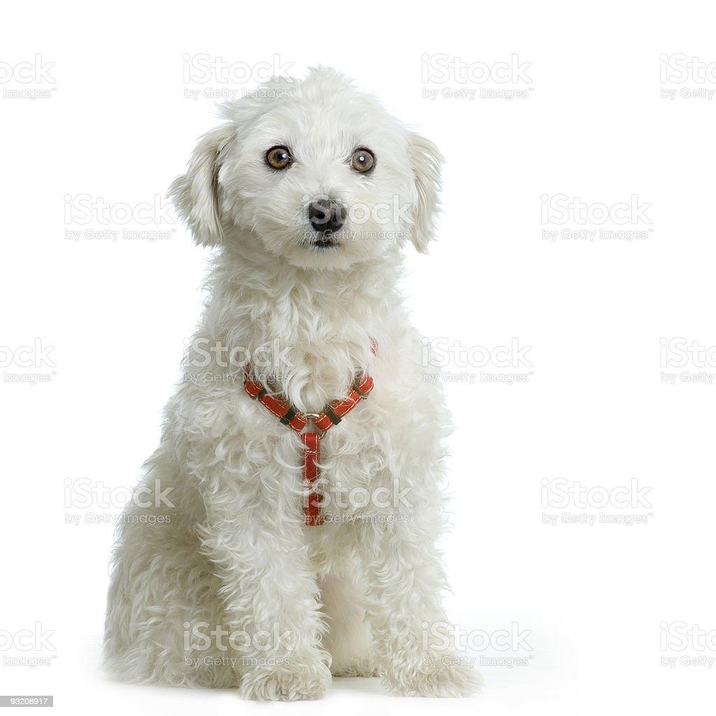maltese dog stock photo