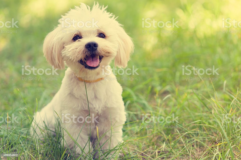 Maltese Dog Puppy stock photo