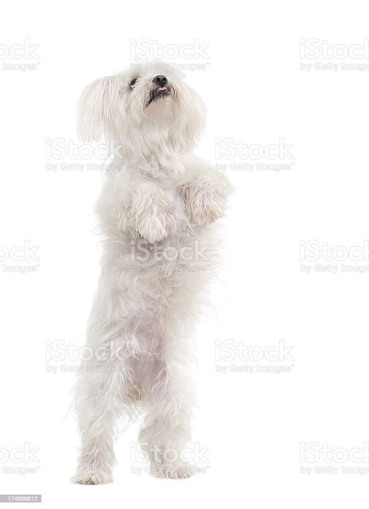 Maltese Dog standing on back legs royalty-free stock photo