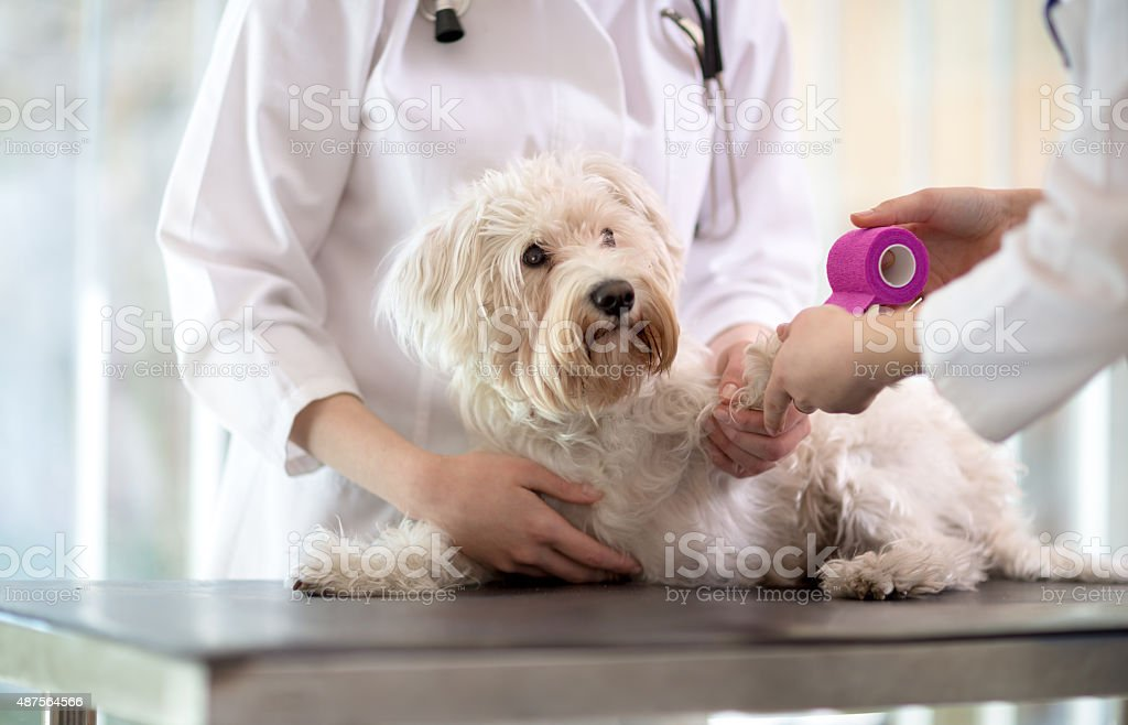 Maltese dog with broken paw in vet infirmary stock photo