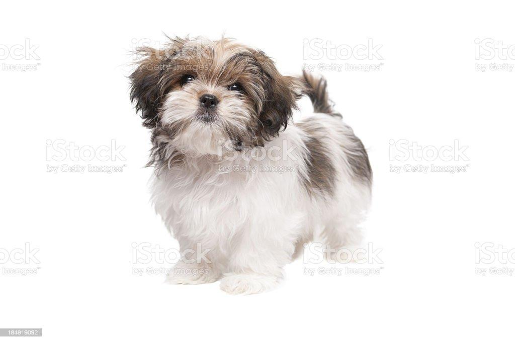 Maltese Shih tzu puppy looking at camera stock photo