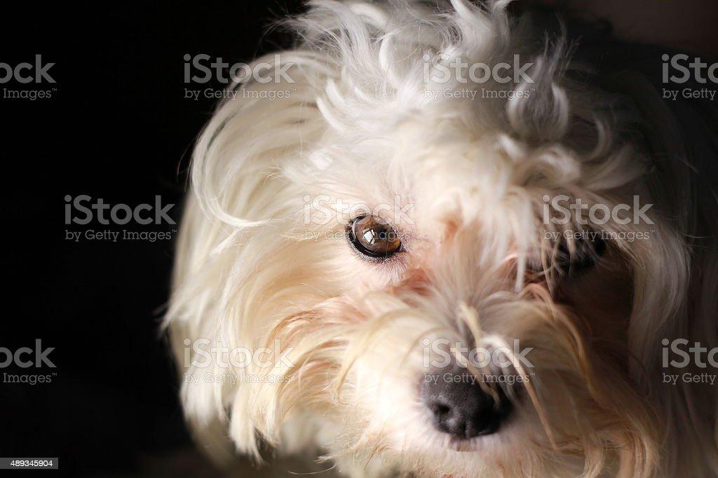 Maltese white puppy dog on black background stock photo