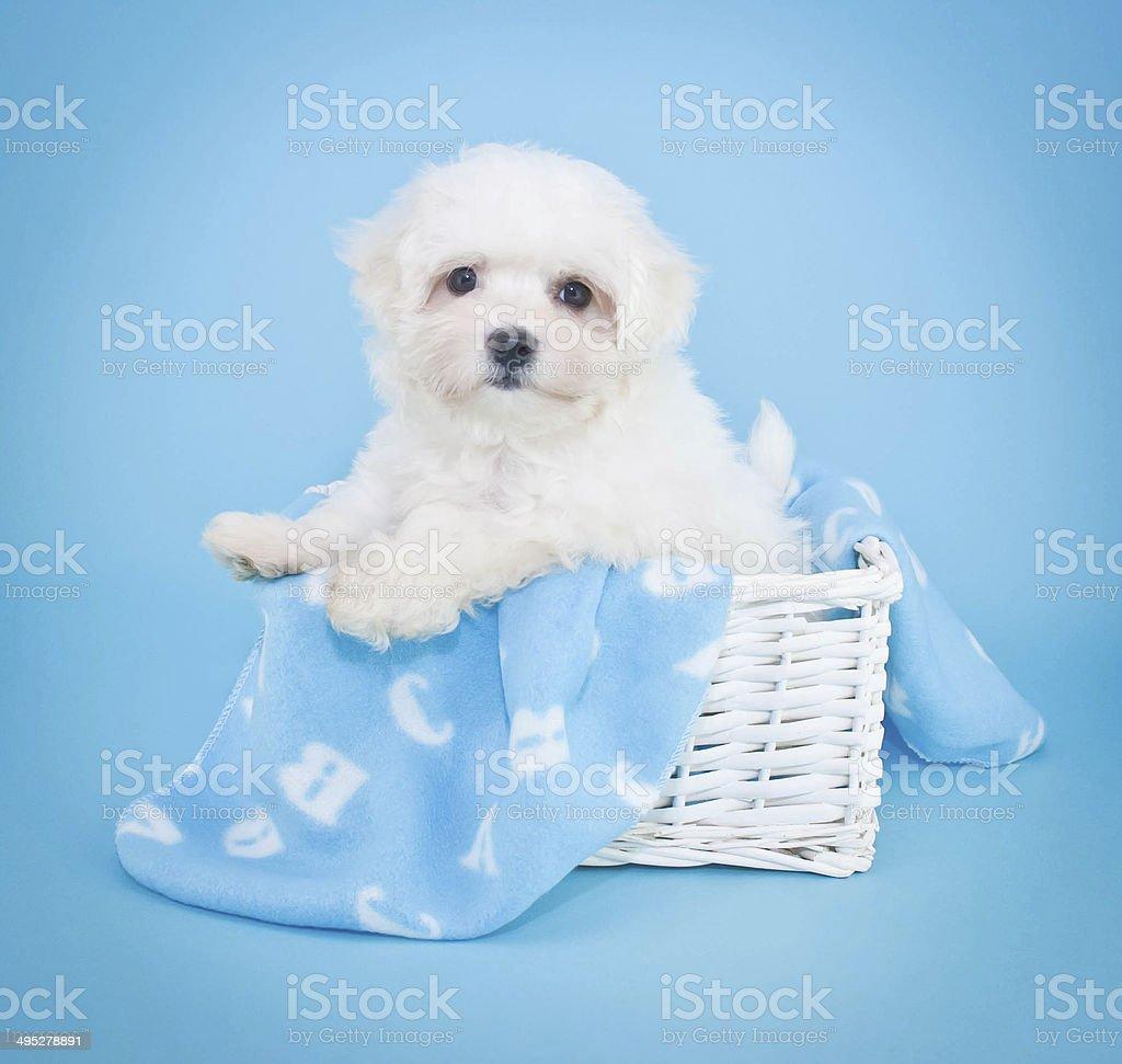 Malti- Poo Puppy stock photo