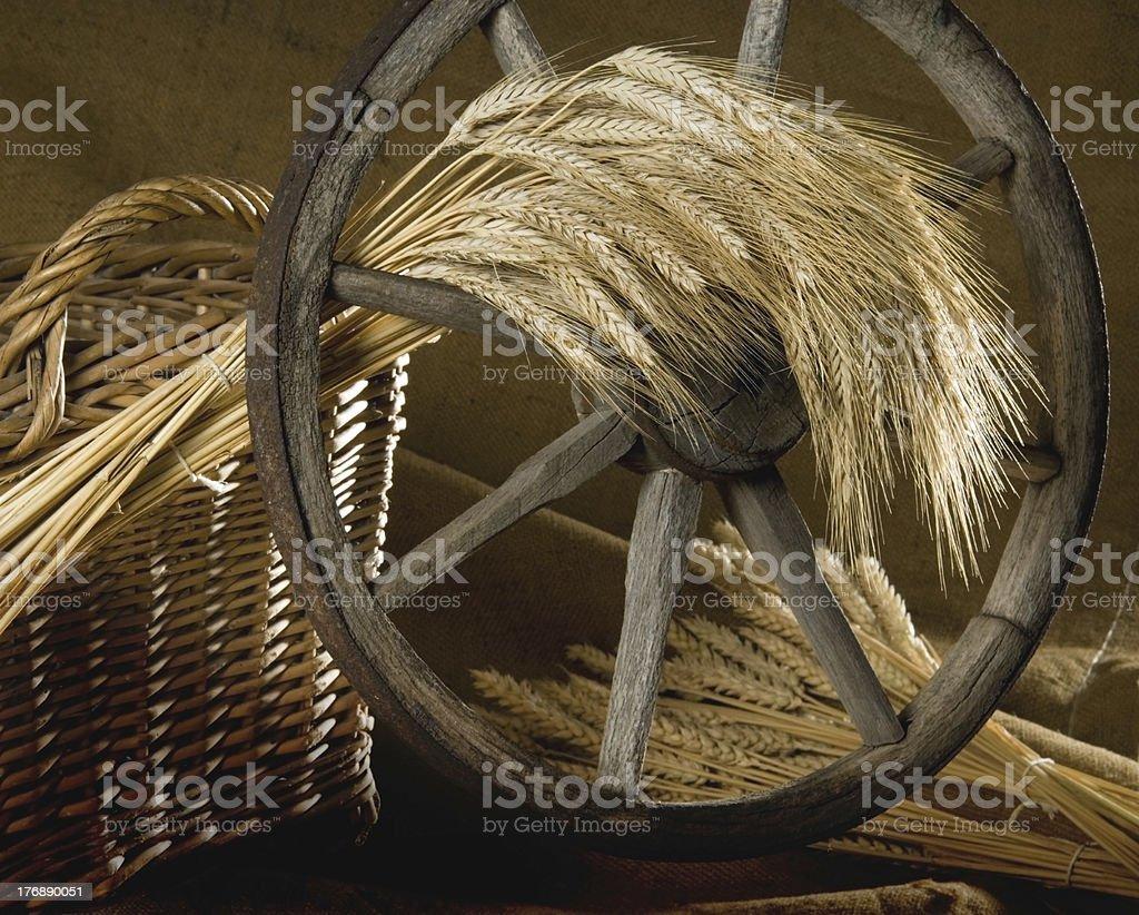 malting barley stock photo