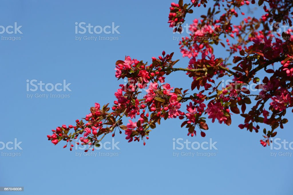 Malus Crab Apple in full blossom during Springtime. stock photo