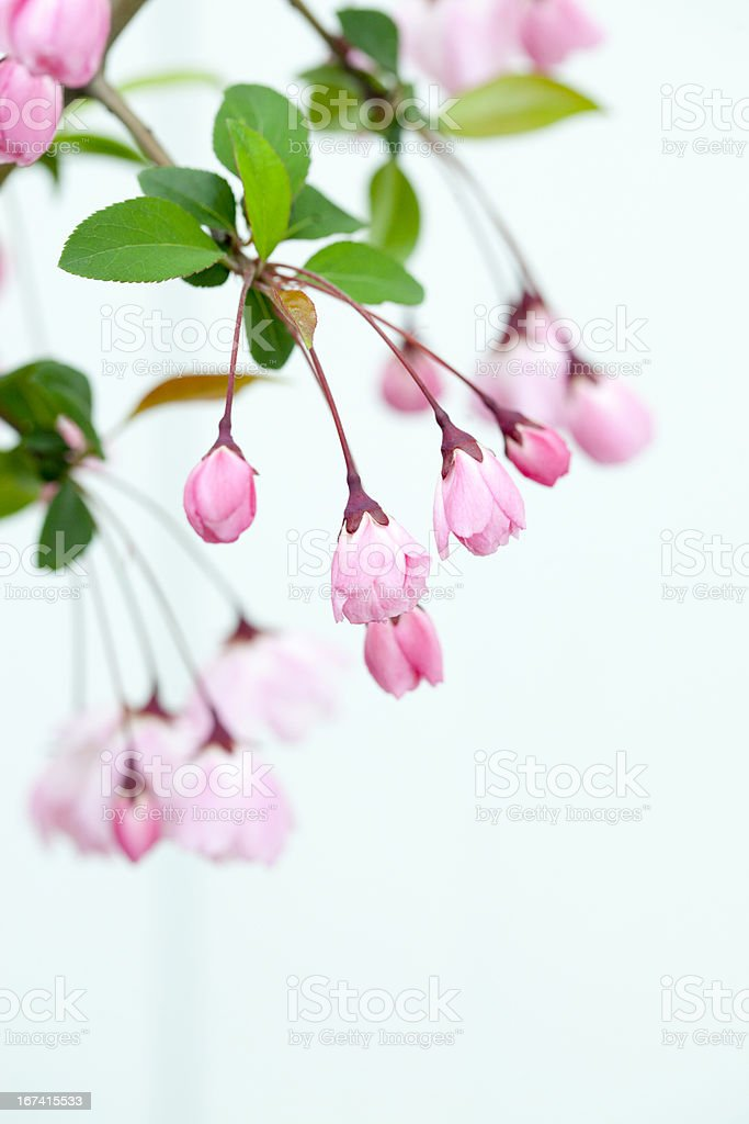 Malus halliana Blossoms royalty-free stock photo
