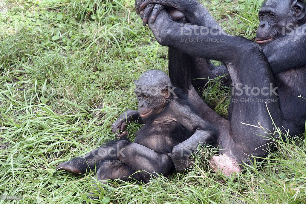 Mama and Babe Bonobos stock photo