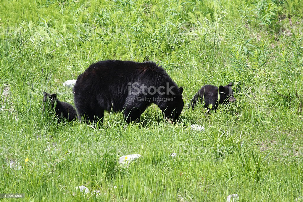 Mama bear with two cubs royalty-free stock photo