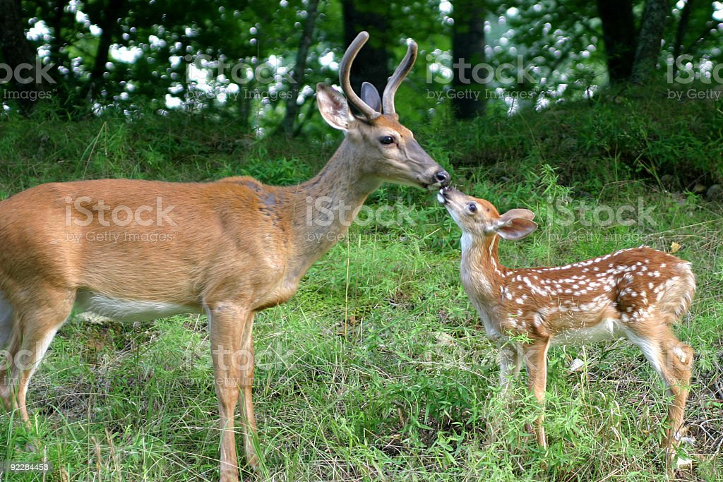 A mama doe and her fawn playing in the forest stock photo