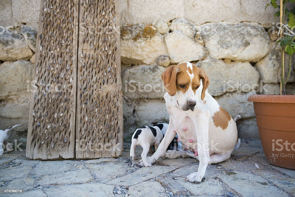 mama dog with pups outside home in Goreme, Turkey royalty-free stock photo