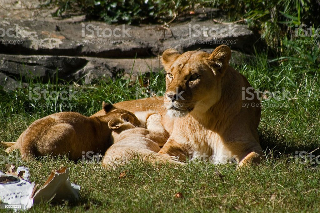 mama lion and cubs at feeding time royalty-free stock photo