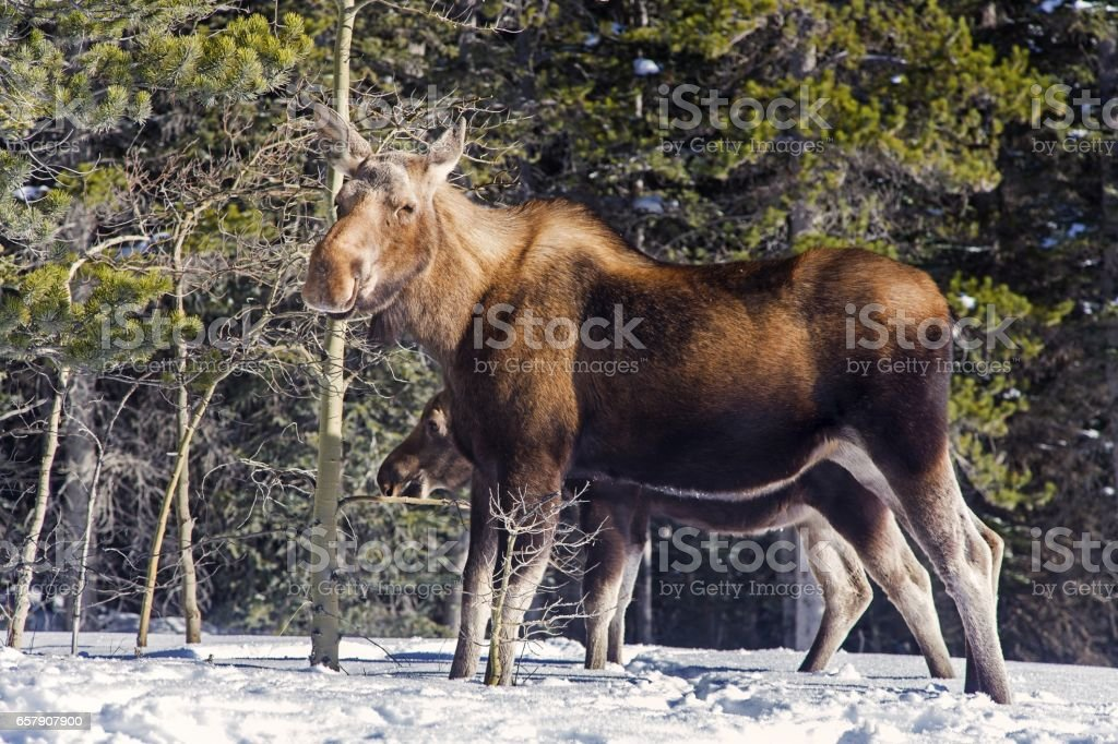 Mama Moose and her Calf stock photo