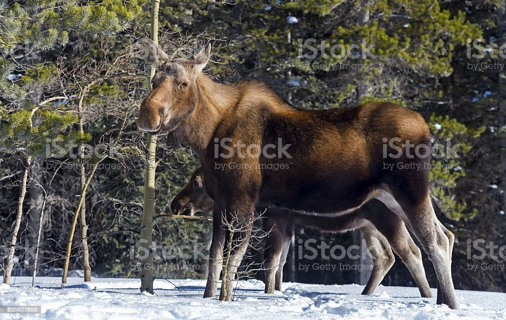Mama Moose stock photo