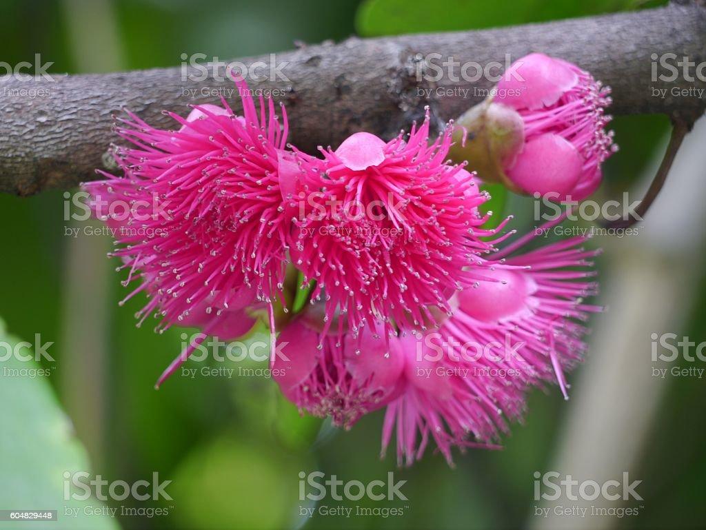 Mamiew pomerac flower stock photo