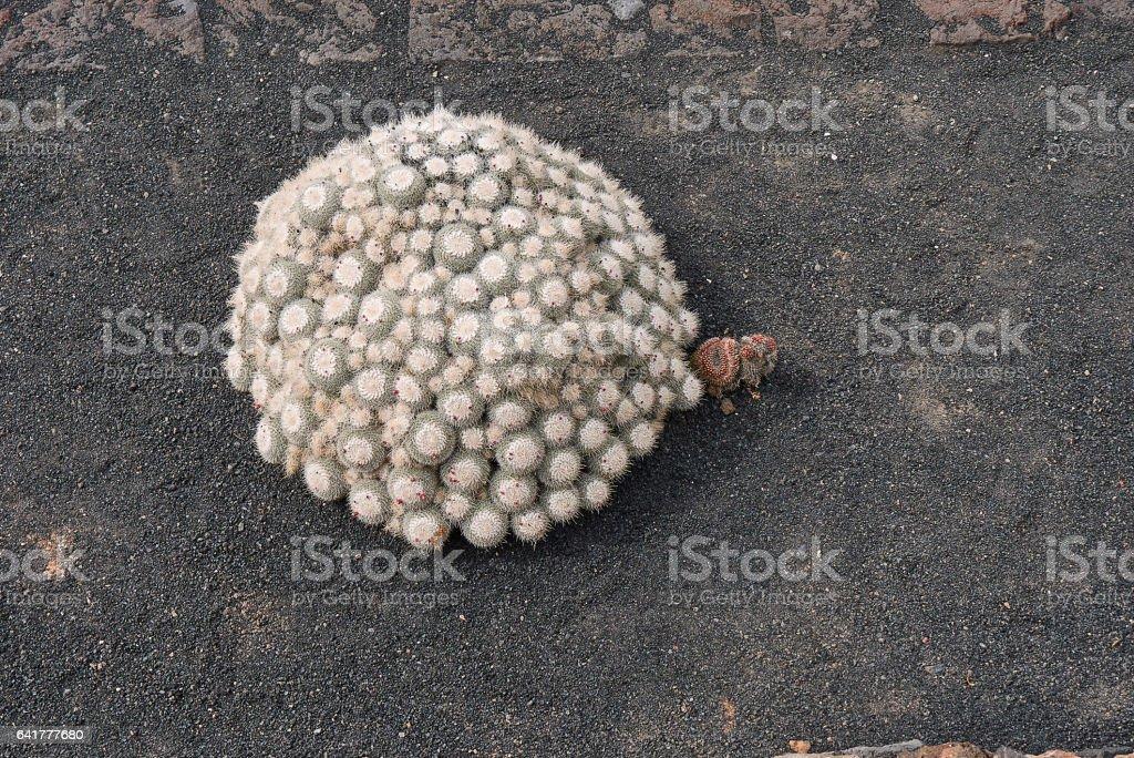 mammilaria geminispina stock photo