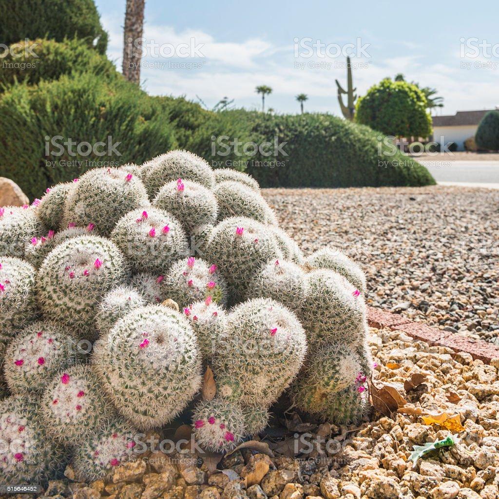 Mammillaria albilanata Cactus blooming stock photo