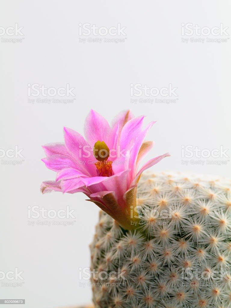 Mammilaria-Kaktus Lizenzfreies stock-foto