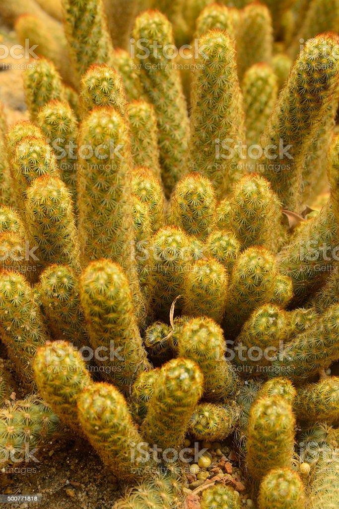 Mammillaria elongata stock photo