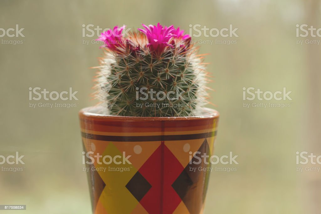 Mammillaria spinosissima blooming stock photo