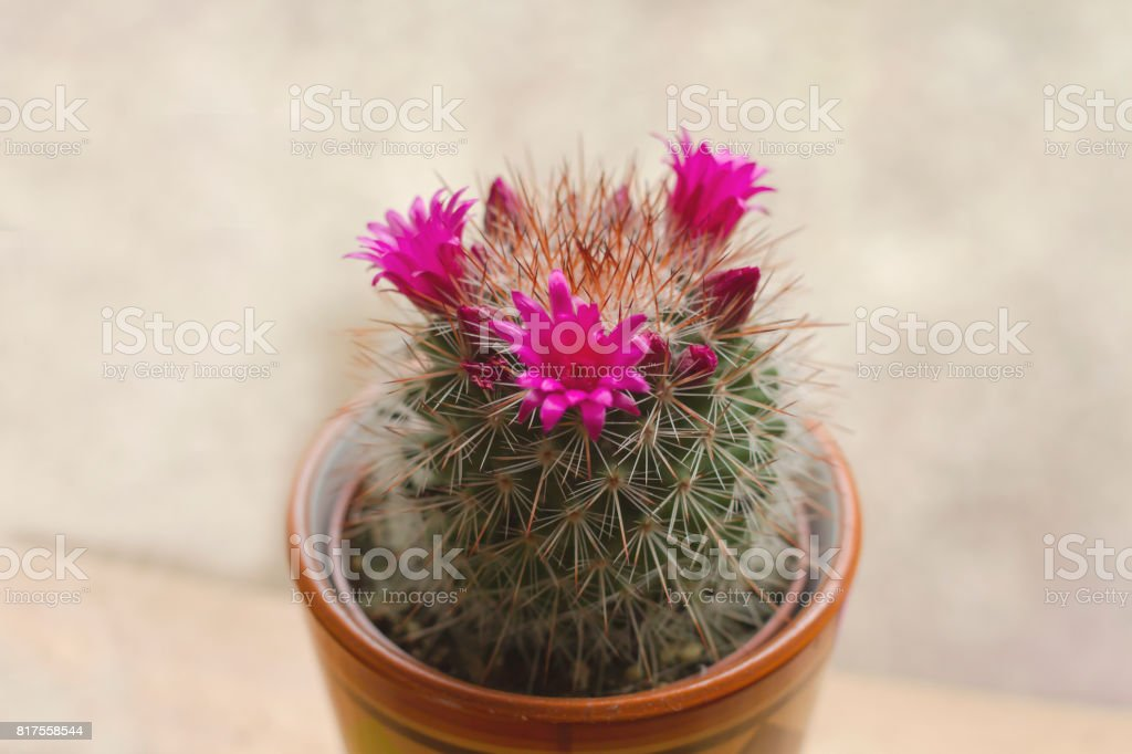 Mammillaria spinosissima cactus with pink flowers blooming stock photo