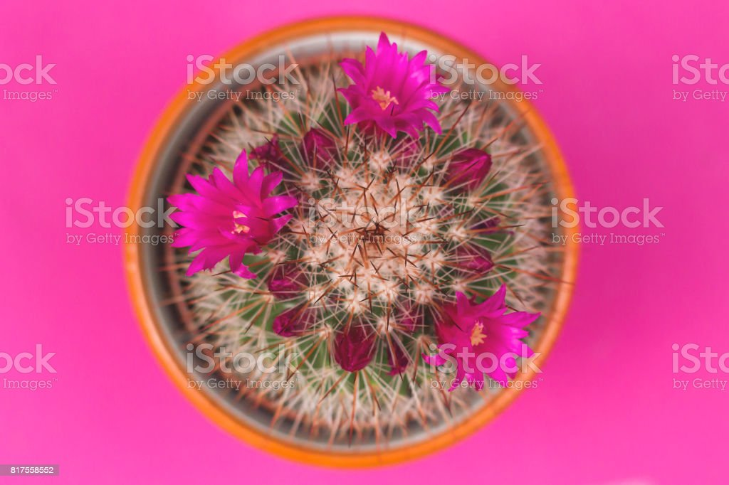 Mammillaria spinosissima cactus with pink flowers top view stock photo
