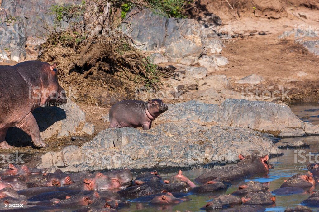 Mamy and Baby Hippo going for a walk stock photo
