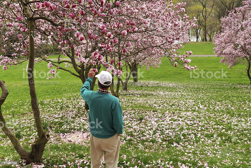 Man admiring magnolia blooms stock photo