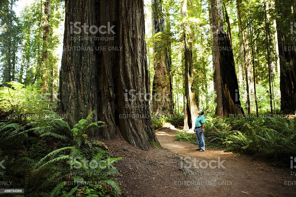 Man admiring the redwood trees stock photo