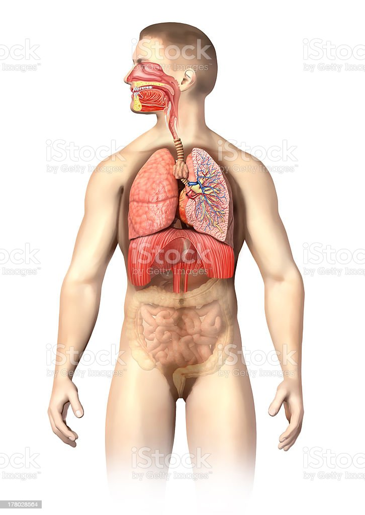 Man anatomy. Respiratory system cutaway, including mouth. On white background. royalty-free stock photo