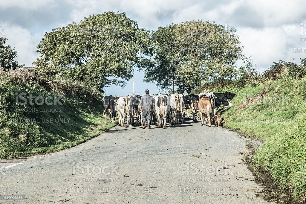 man and dog herding cows down country lane stock photo