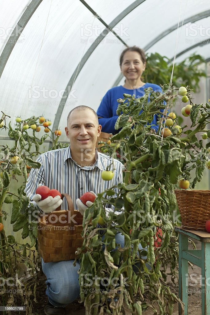 Man and woman picking tomato royalty-free stock photo