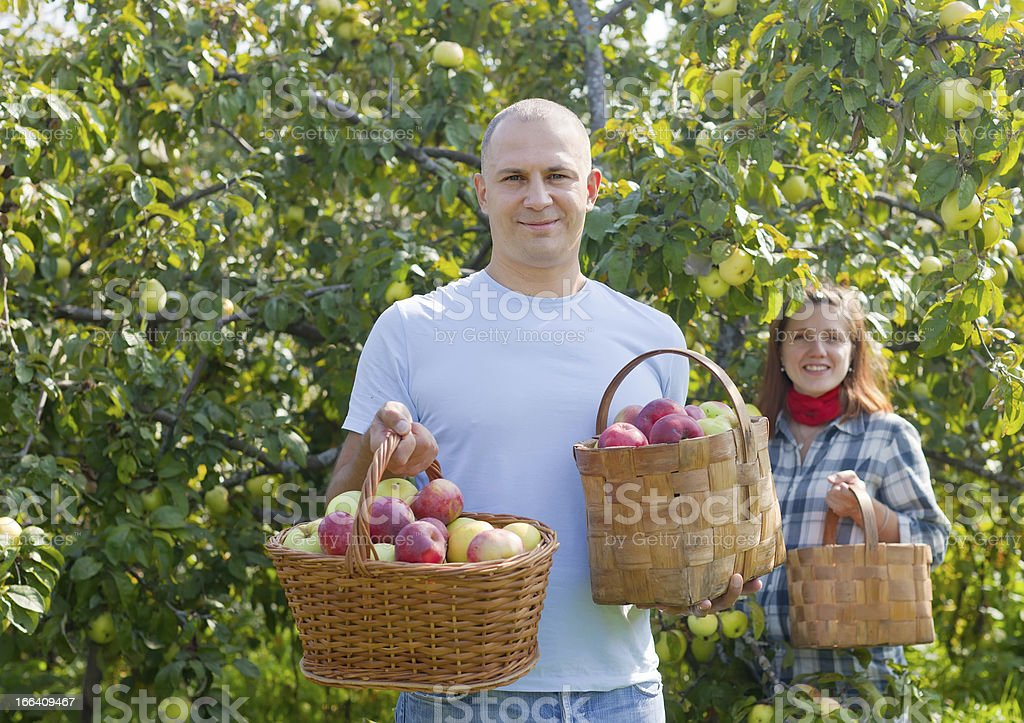 Man and woman picks apples royalty-free stock photo