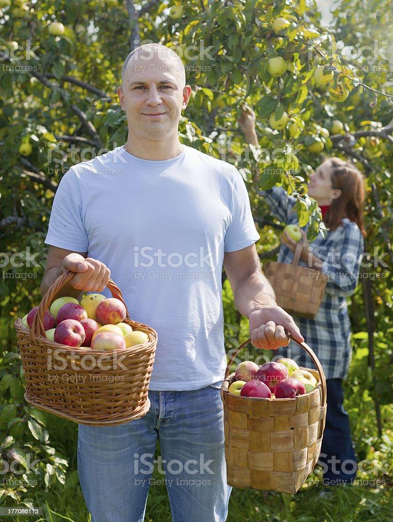 Man and woman picks apples royalty-free stock photo