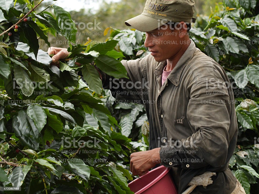 man as a farm worker harvesting coffee berries stock photo