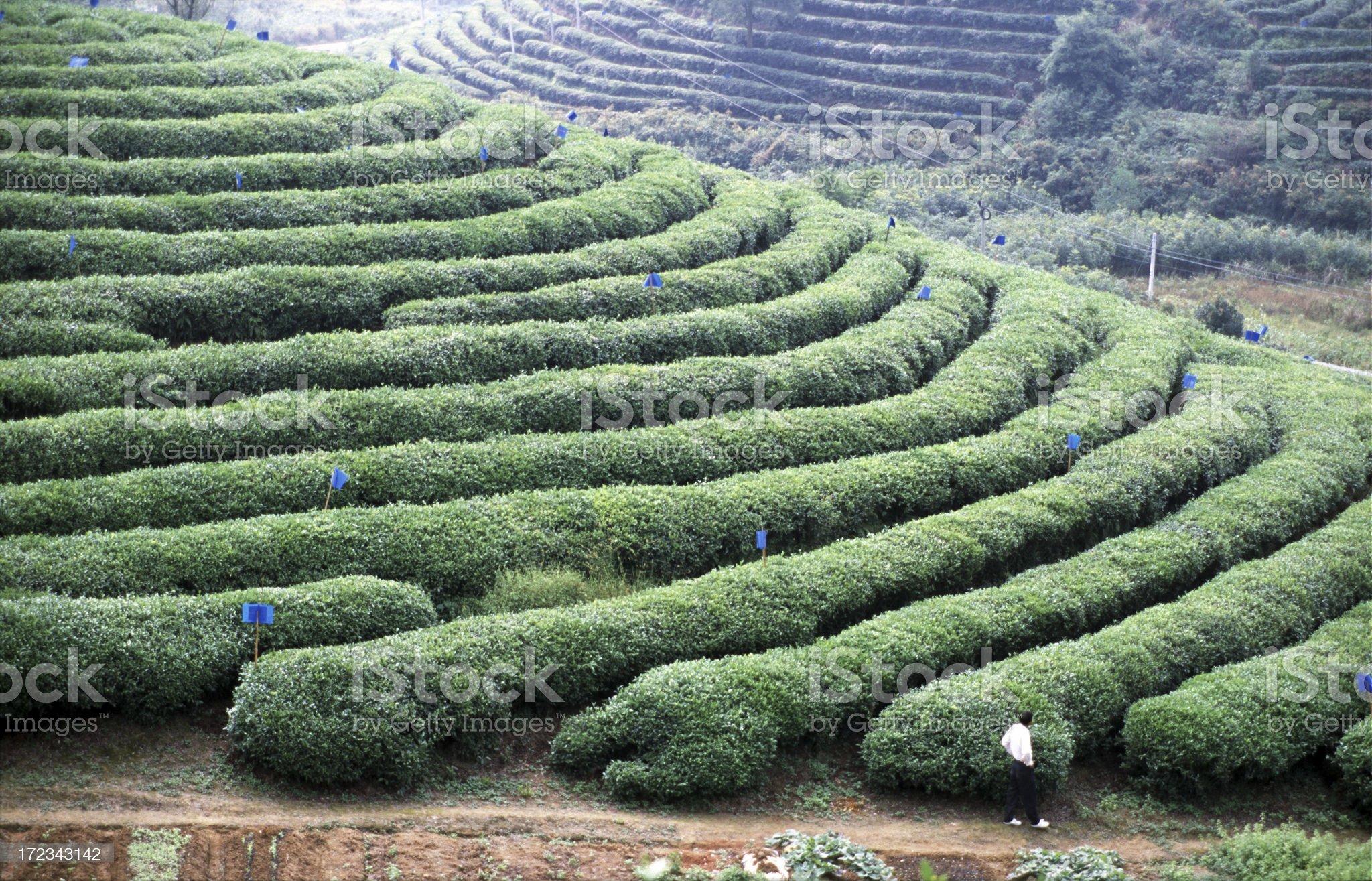 Man at a tea plantation royalty-free stock photo