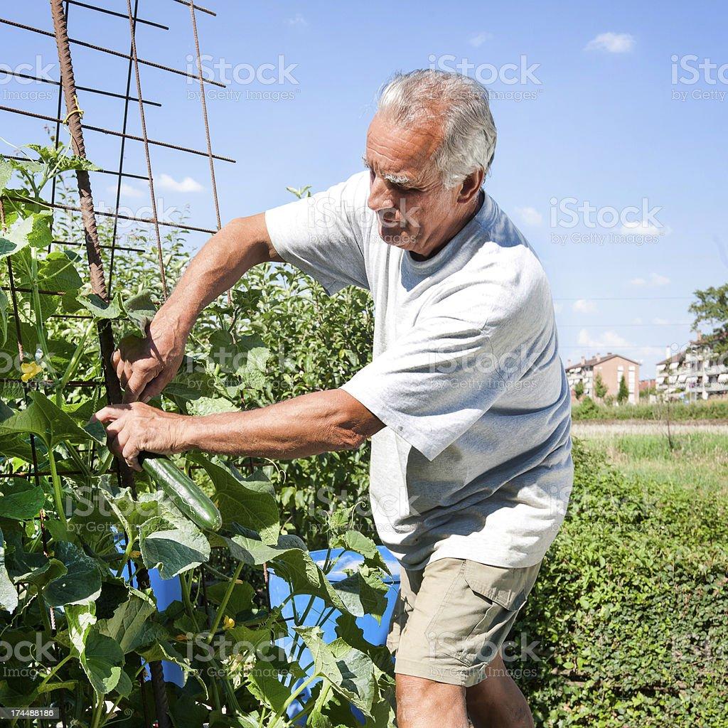 Man at Urban vegetable garden royalty-free stock photo
