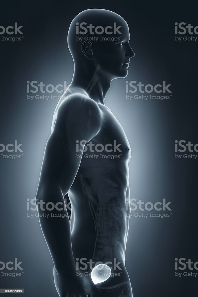 Man bladder lateral antomy royalty-free stock photo