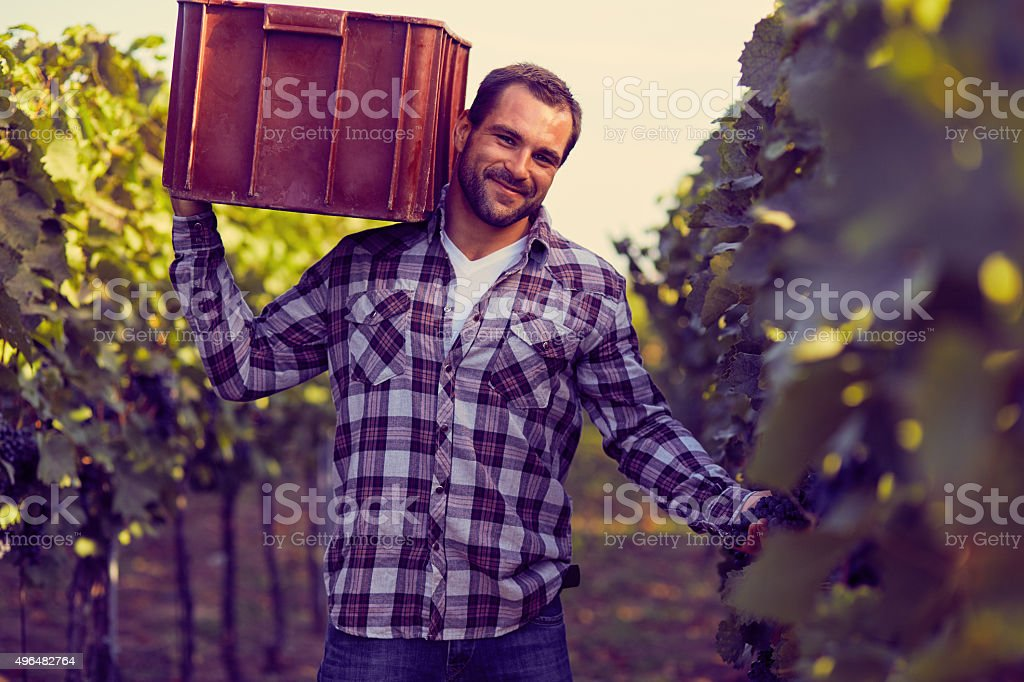Man carries a box on grapes at harvesting stock photo