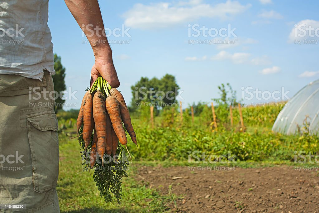 Man carrying carrot harvest royalty-free stock photo