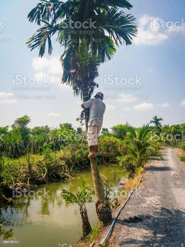 Man climbing in a areca palm tree stock photo